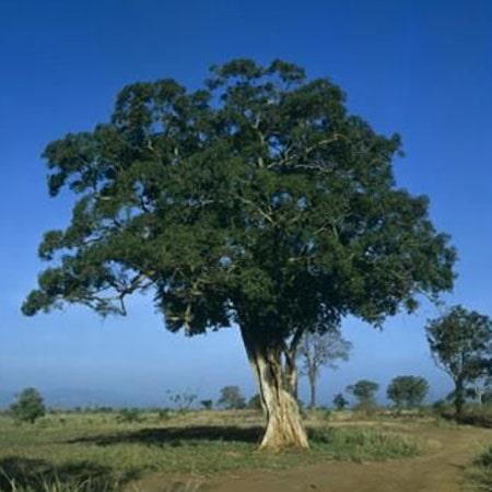 Rosewood tree baliartfurniture